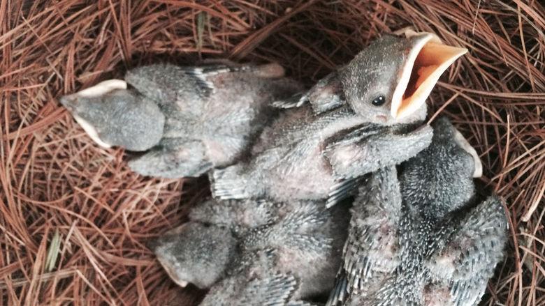 Purple Martins nest at Penn State Behrend